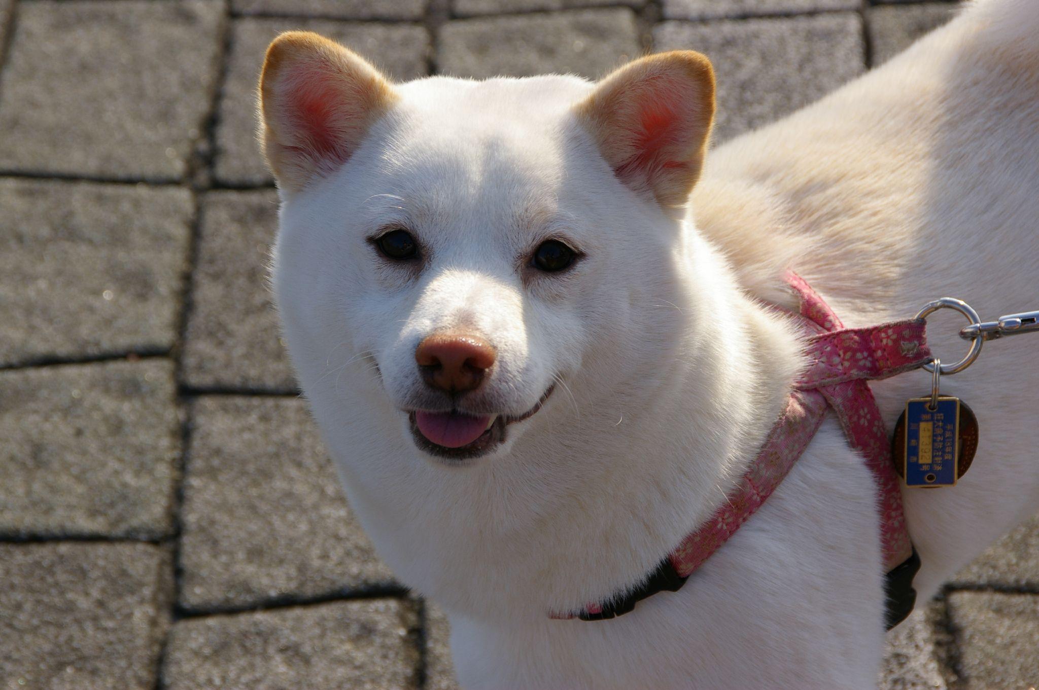 Shiba Inu blanc avec collier