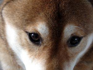 Gros plan yeux de Shiba Inu Inu
