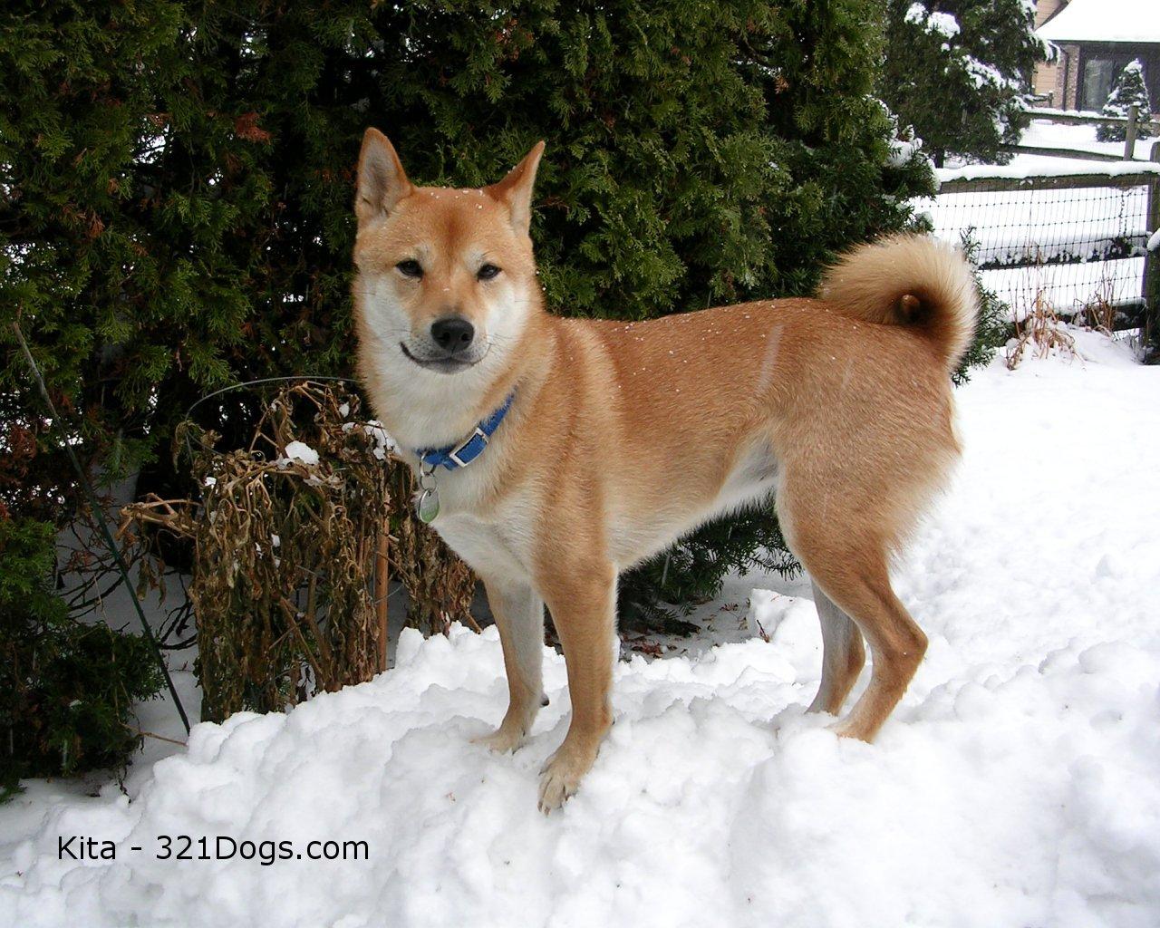 Shiba Inu avec collier dans la neige