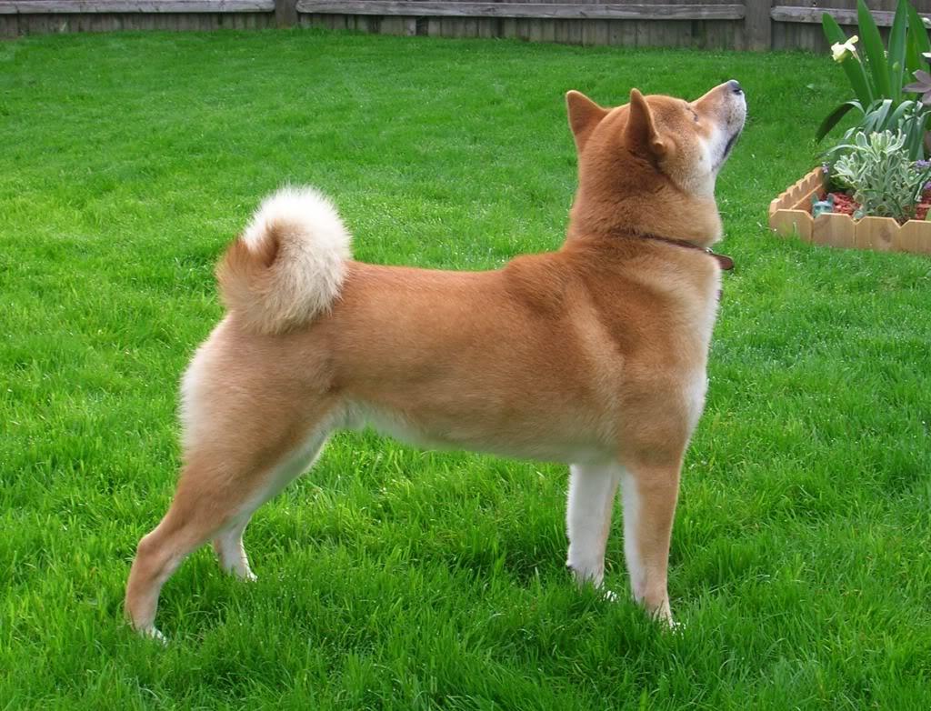 Shiba Inu dans l'herbe