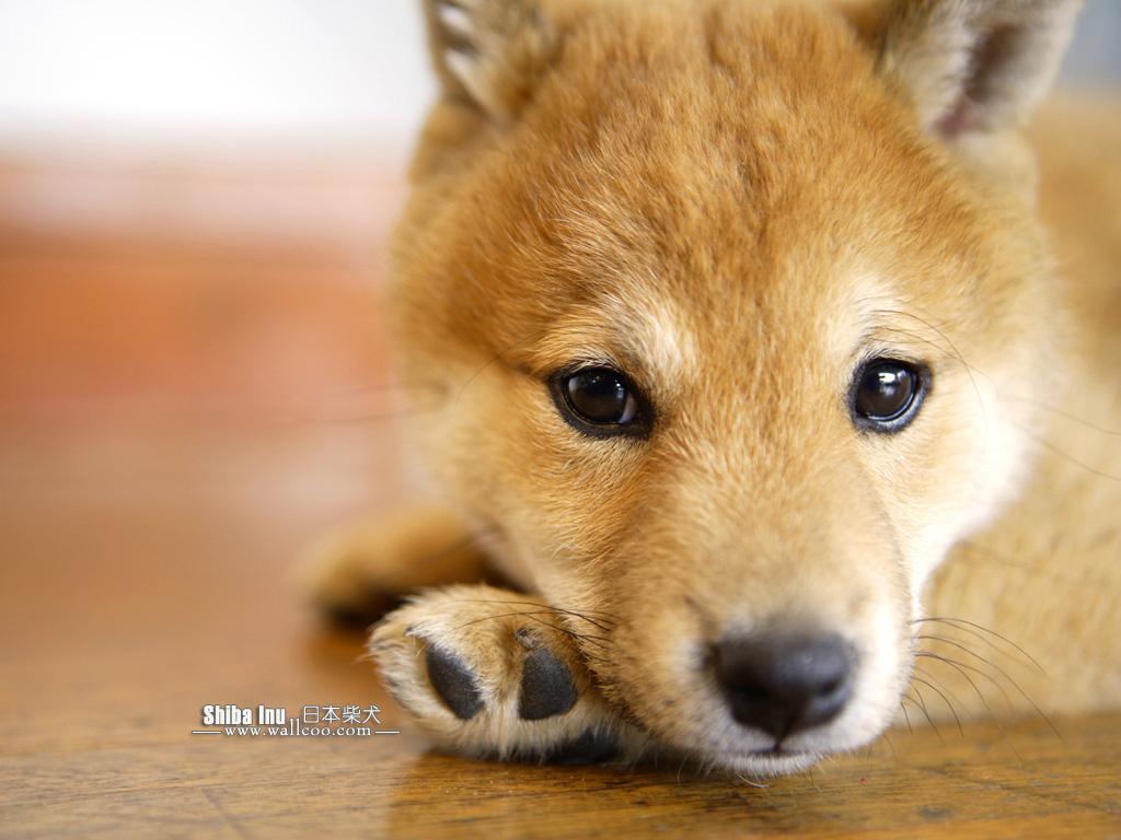 Shiba Inu allongé sur sa patte