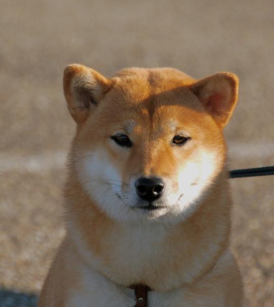 Shiba Inu de face en laisse