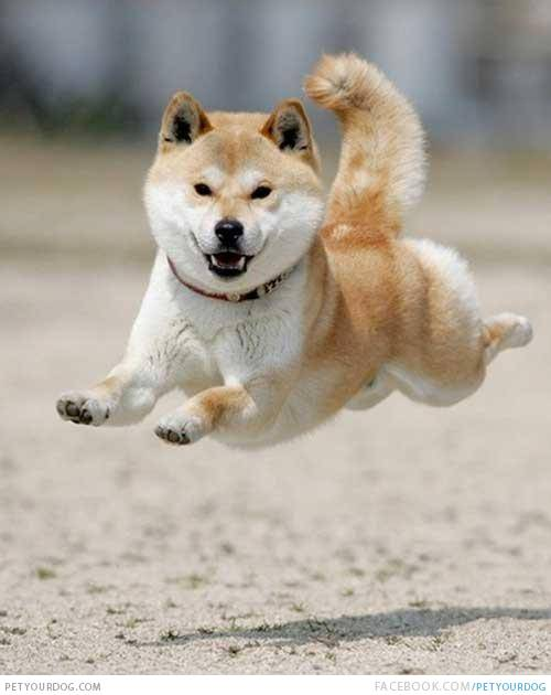 Shiba Inu en train de sauter