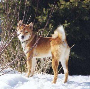 Shiba Inu dans la neige et les branches