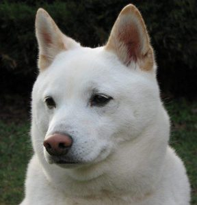 Shiba Inu blanc
