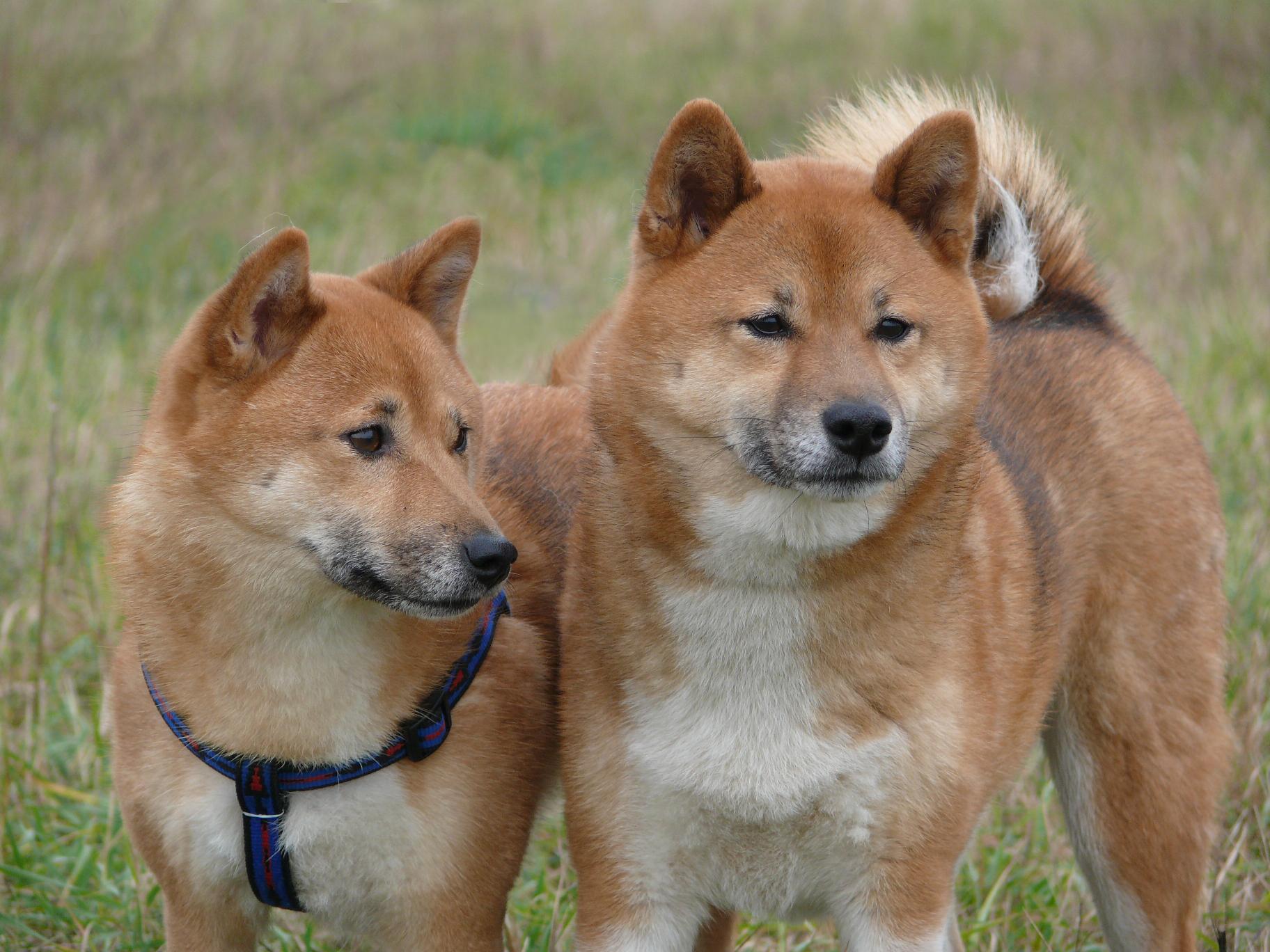 Deux Shiba Ini dans l'herbe