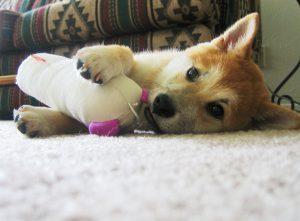 Shiba Inu qui s'amuse avec une pelote