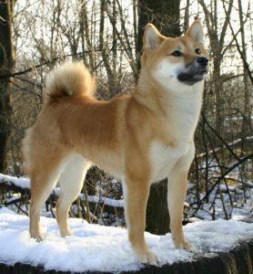 Shiba Inu dressé dans la neige