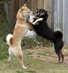 Deux Shiba Inu qui s'amuse ensemble