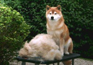 Shiba Inu après brossage : poils