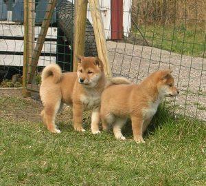 Deux chiot Shiba Inu dans l'herbe