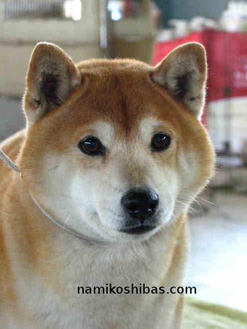 Gros plan Shiba Inu visage blanc
