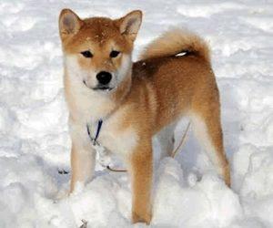 Shiba Inu dans un tas de neige