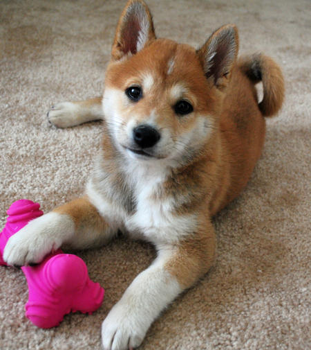 Shiba Inu : jouet os rose