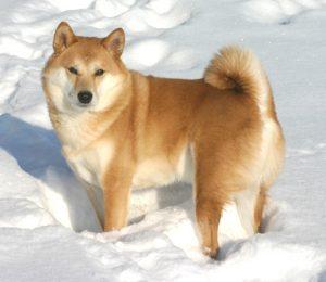Shiba Inu dans la neige attendant son maitre