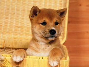 Shiba dans une panière