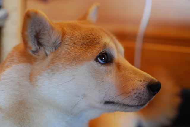 Shiba Inu qui à l'air triste