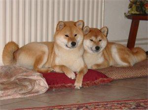 Deux Shiba allongés