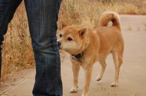 Shiba qui mort le pantalon