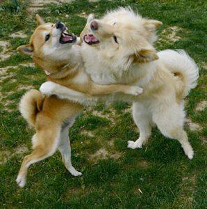 Shiba et un autre chien