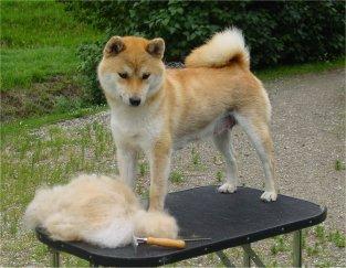Shiba et brosse